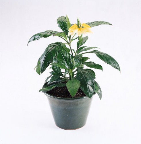 crossandra_tropic_yellow.jpg