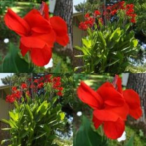 641360-canna-indica-hybriden-big-red