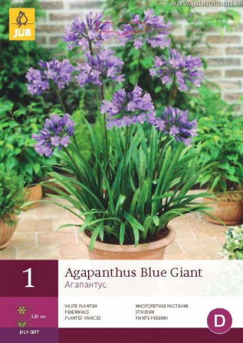 AGAPANTHUS-BLUE-GIANT