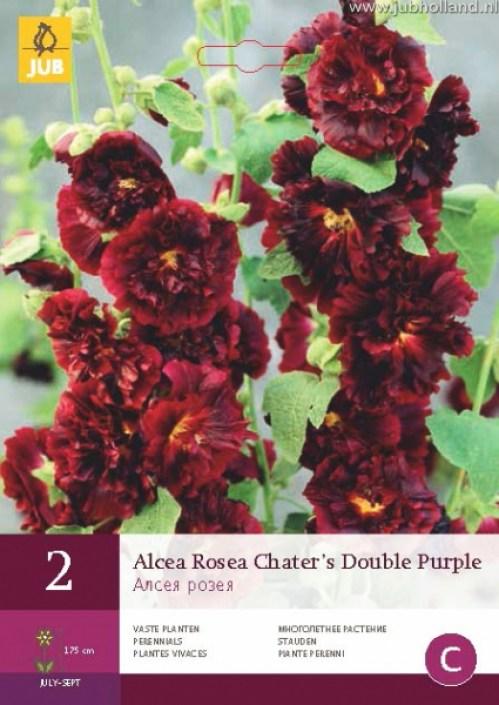 ALCEA-ROSEA-CHATERS-DOUBLE-PURPLE