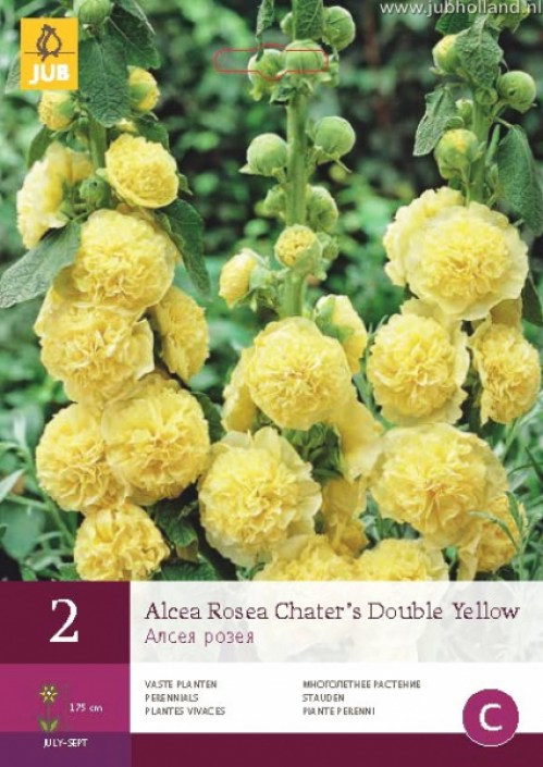 ALCEA-ROSEA-CHATERS-DOUBLE-YELLOW