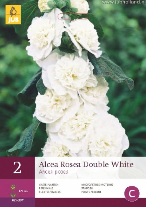 ALCEA-ROSEA-DOUBLE-WHITE