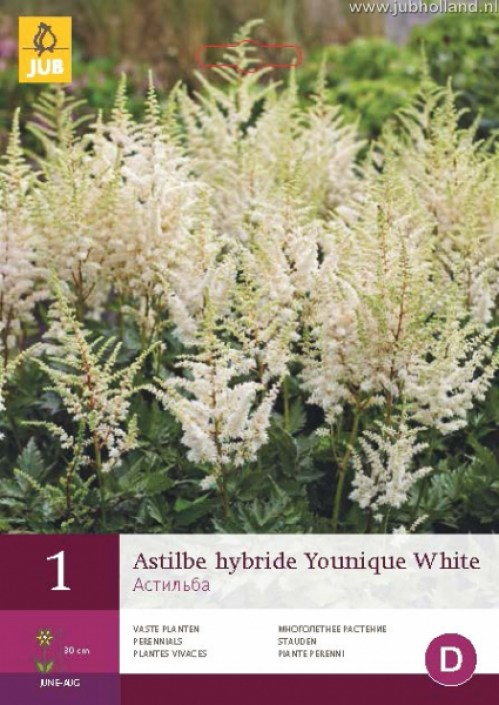 ASTILBE-HYBRIDE-YOUNIQUE-WHITE
