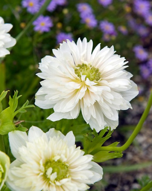 Anemone cor. Mount Everest.jpg
