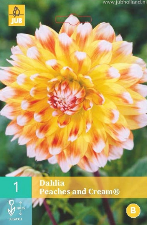 DAHLIA-PEACHES-AND-CREAM