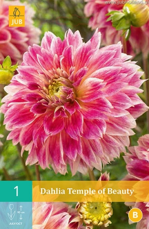 DAHLIA-TEMPLE-OF-BEAUTY