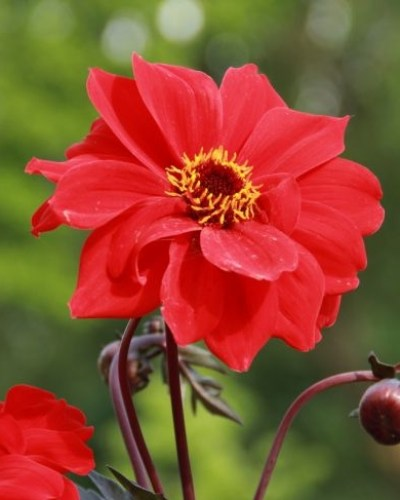 Dahlia Bishop of Llandaff6