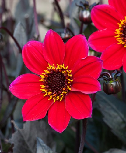 Dahlia Happy Days Cherry Red