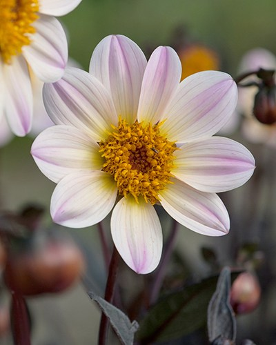 Dahlia Happy Days Cream White