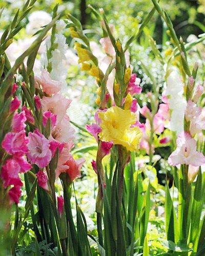 Gladiolus Butterfly Mix