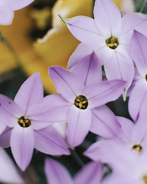 Ipheion uniflorum wisley blue.jpg