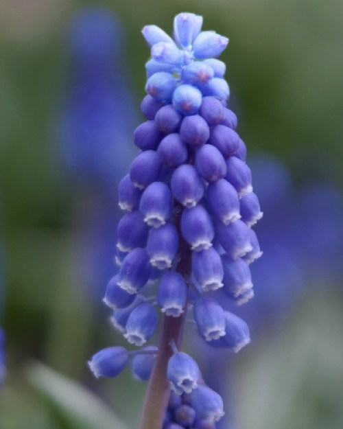 Muscari Superstar.jpg