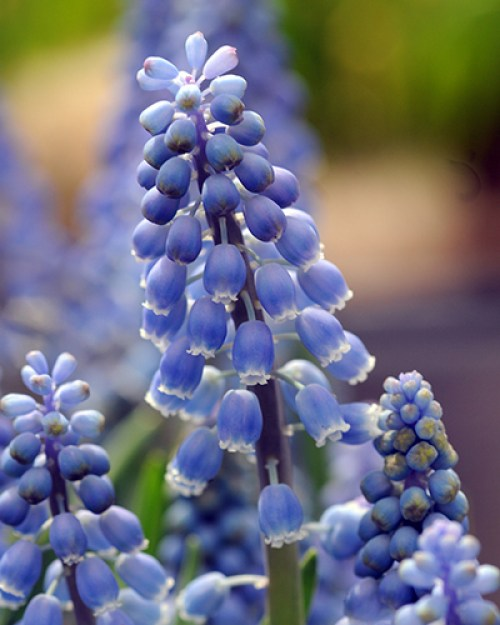 Muscari auch. blue magic.jpg