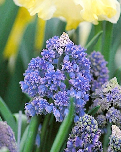 Muscari fantasy creation.jpg