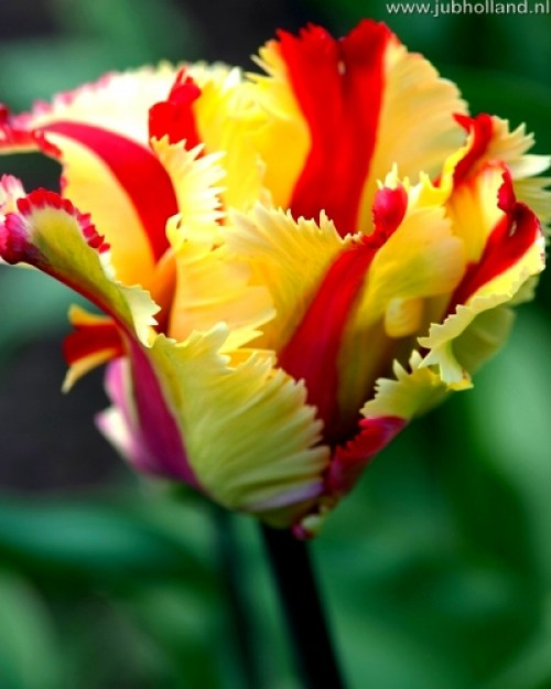 TULIPA-FLAMING-PARROT-12
