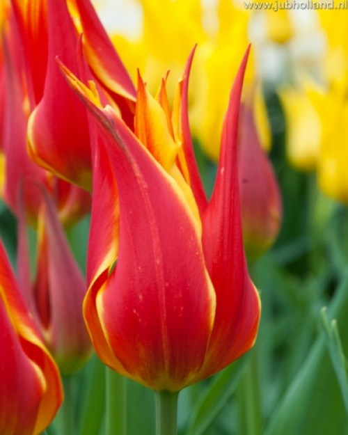 TULIPA-FLY-AWAY-12