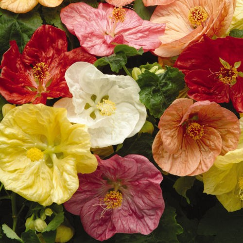 abutilon_bella_select_mix