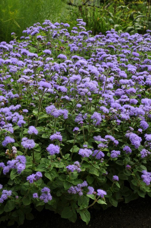 ageratum_high_tide_blue3