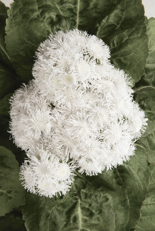 ageratum_high_tide_white
