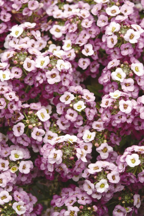 alyssum_clear_crystal_lavender_shades