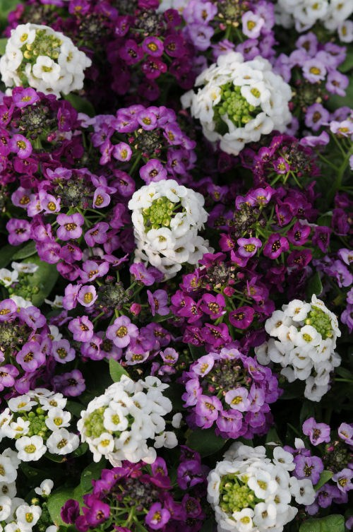 alyssum_clear_crystal_mix