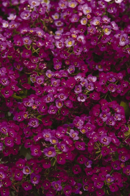 alyssum_clear_crystal_purple_shades