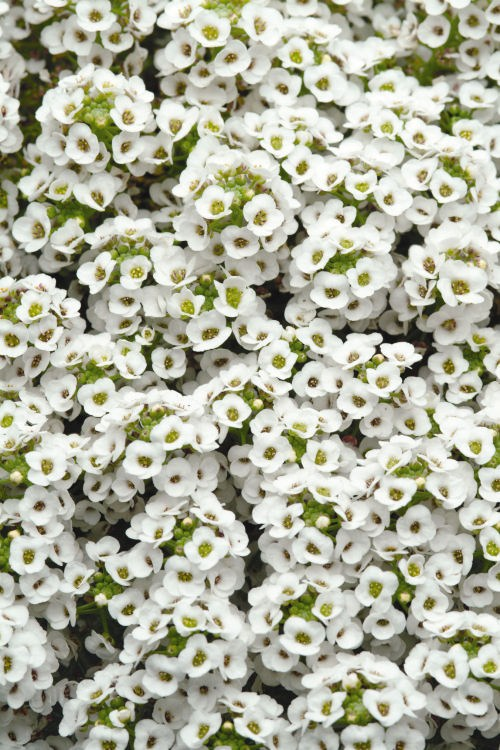 alyssum_clear_crystal_white