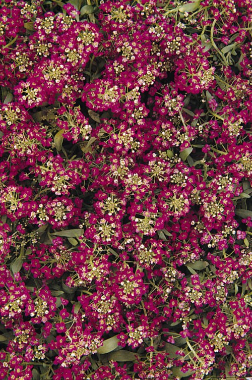 alyssum_easter_bonet_deep_rose
