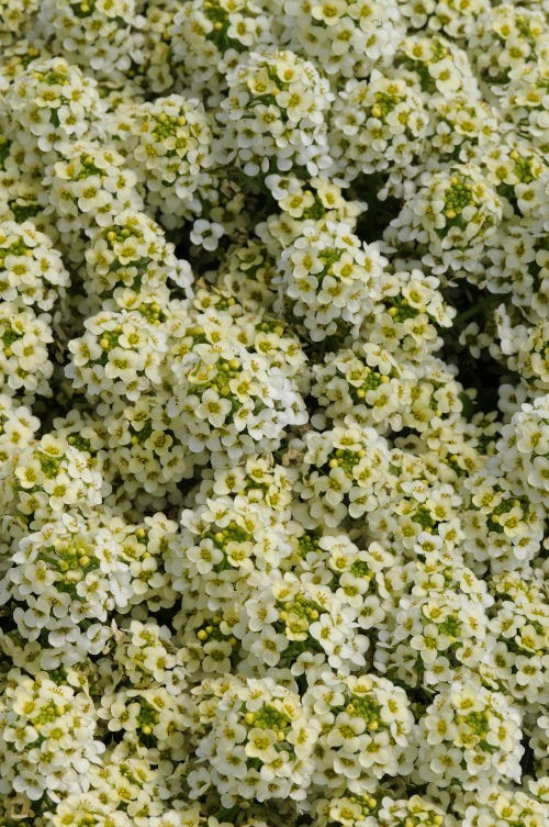 alyssum_easter_bonet_lemonade
