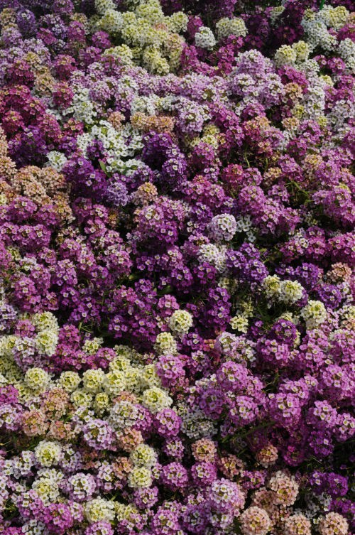 alyssum_easter_bonet_mix