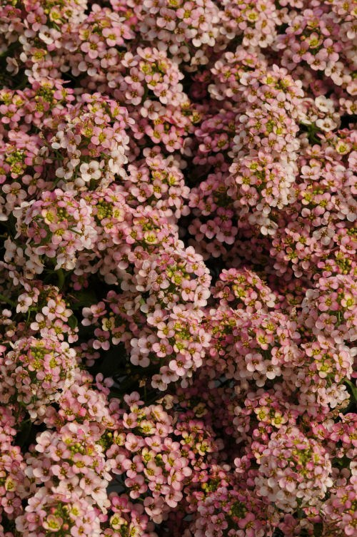 alyssum_easter_bonet_peach