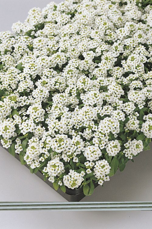 alyssum_easter_bonet_white