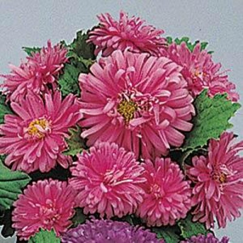 aster_pot_n_patio_pink