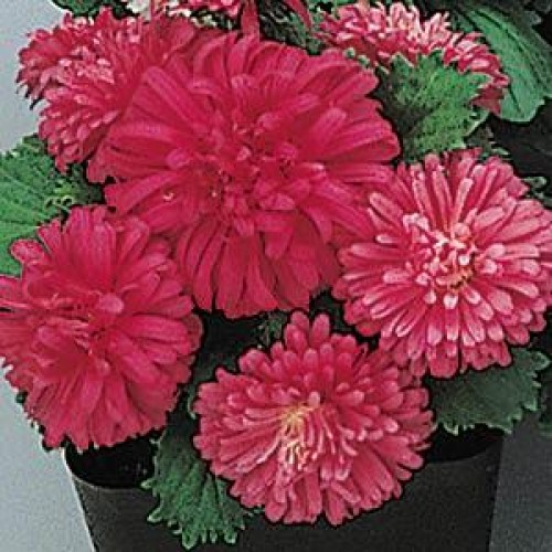 aster_pot_n_patio_scarlet