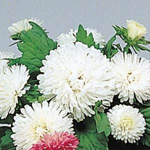 aster_pot_n_patio_white