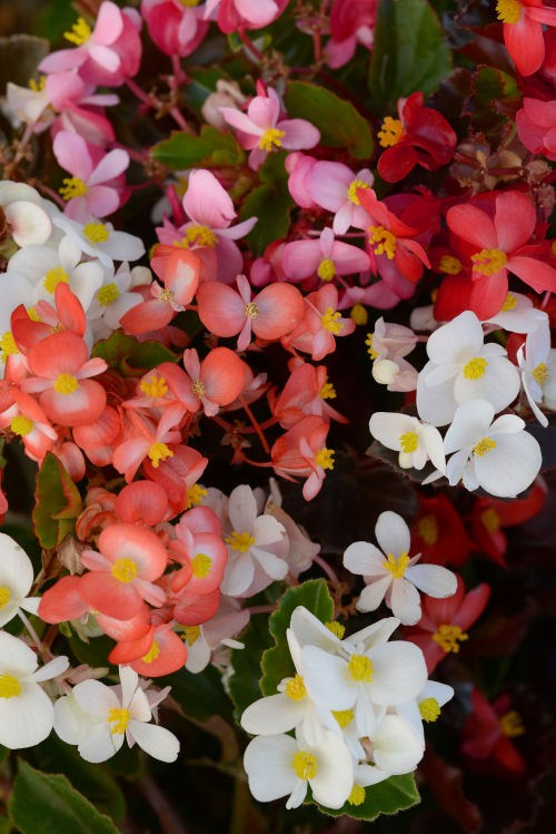 begonia_baby_wing_mix