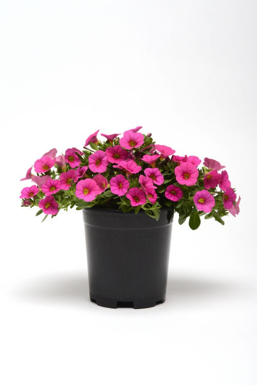 calibrachoa_kabloom_pink