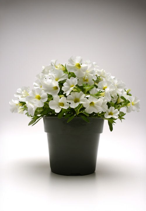 calibrachoa_kabloom_white