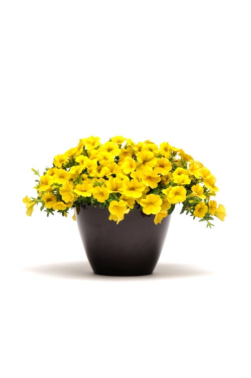 calibrachoa_kabloom_yellow