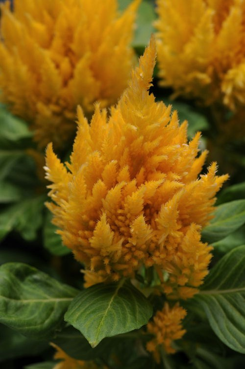celosia_first_flame_yellow