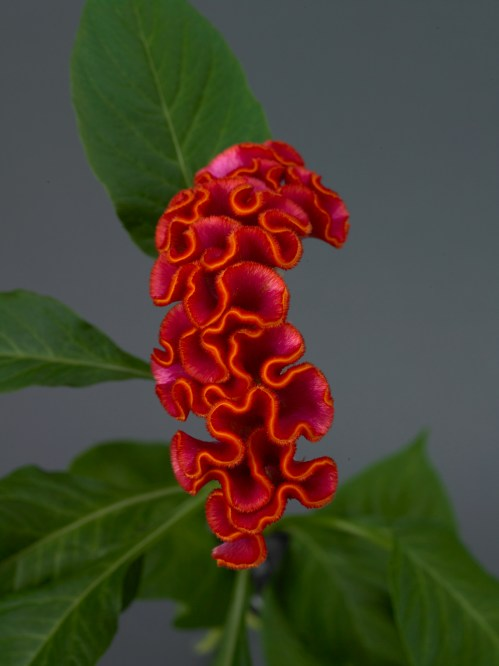 celosia_neo_orange_1.jpg