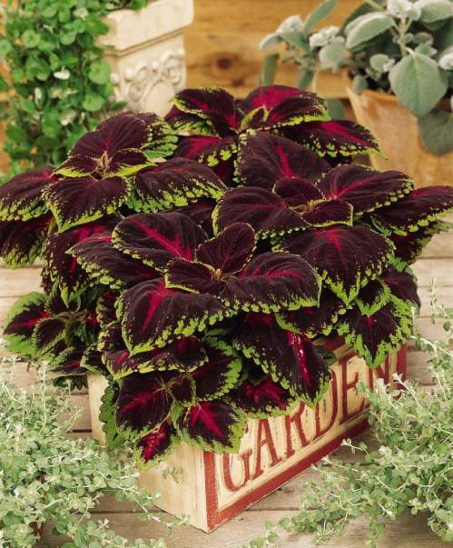 coleus_kong_red2