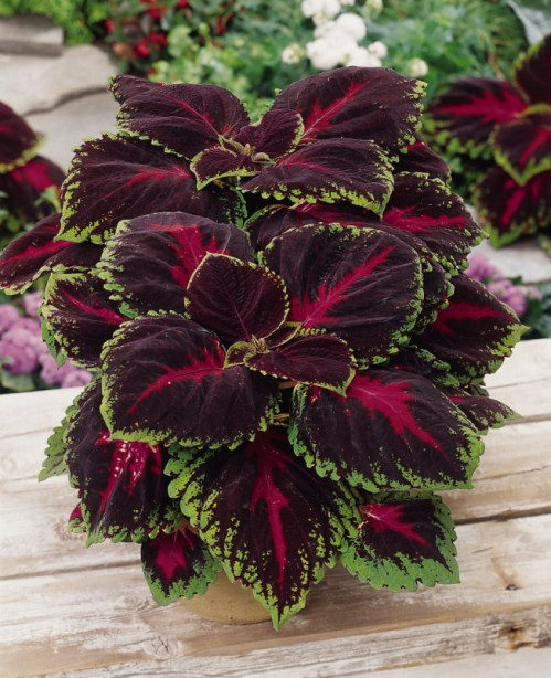 coleus_kong_red
