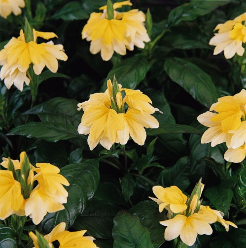 crossandra_tropic_yellow2