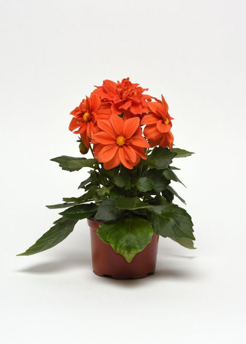 dahlia_figaro_orange_shades2