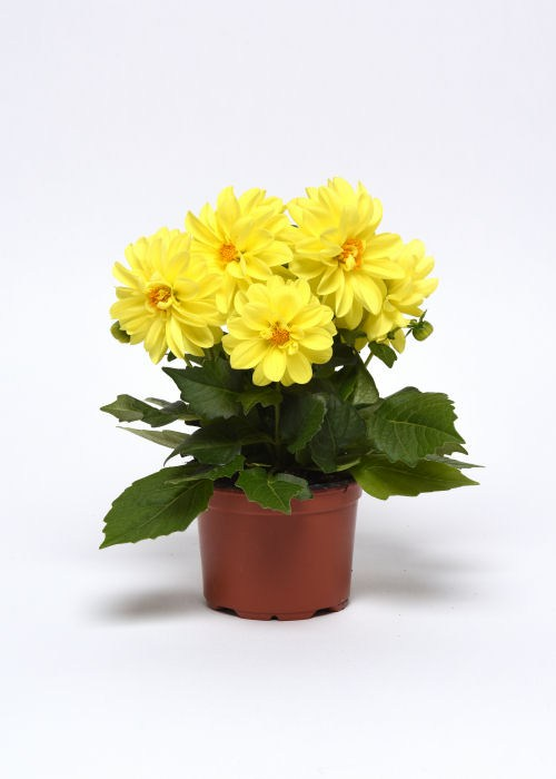 dahlia_figaro_yellow