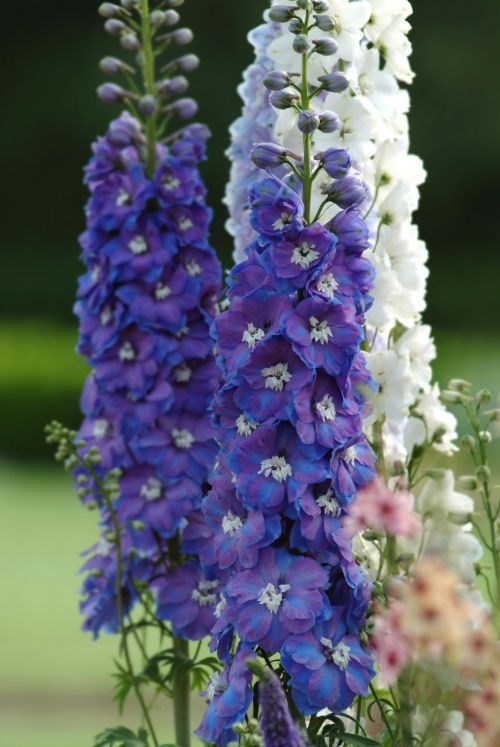 delphinium_guardian_blue