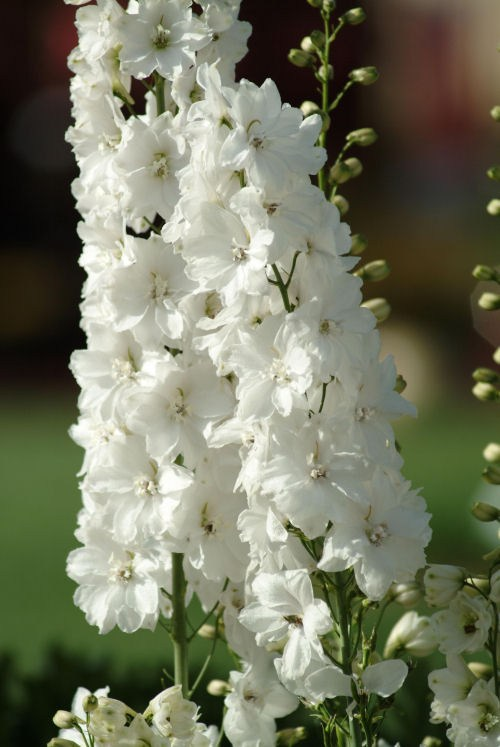 delphinium_guardian_whitee