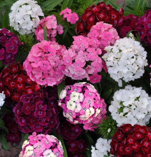 dianthus_dash_mix