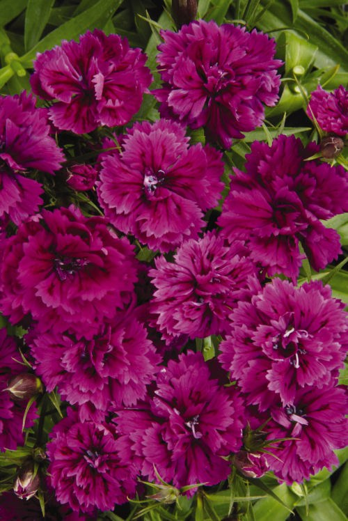 dianthus_dynasty_orchid2